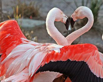 flamingos-heart